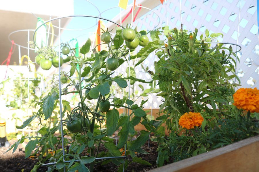 Several varieties and several colors of tomatoes are growing in the garden.