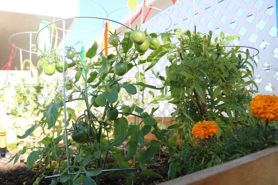 Several+varieties+and+several+colors+of+tomatoes+are+growing+in+the+garden.