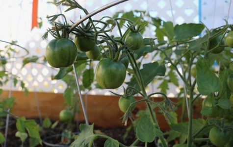 I'll have the caprese: New student-tended rooftop garden offers herbs to pick, vegetables for sale
