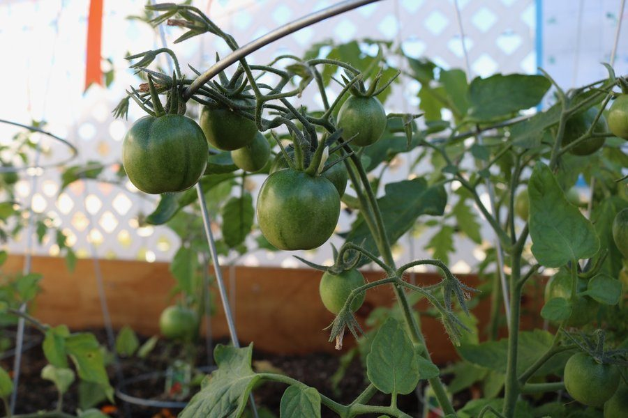 RIPENING%3A+tomatoes+growing+on+the+third+floor+were+planted+Sept.+21
