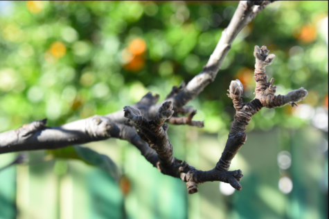 BEGINNING: Buds began to swell on an apple tree in Pico-Robertson today -- Jan. 21, which in the Hebrew calendar was Tu B'shvat.