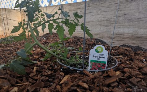 "ARRIVAL: Newly planted in last year's wooden planters by the turf fence, an heirloom cherry tomato plant celebrates the holiday of the trees. ""I will be starting up the garden on the third floor this Monday, on Tu B'Shvat,"" Jacob posted on Schoology Friday morning."
